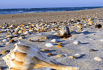Great shelling opportunites on the Outer Banks